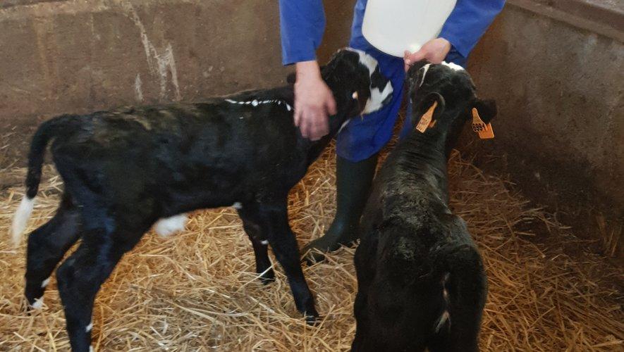 Sur les terrains ou au sein de son exploitation bio de vaches laitières, Jessy Trémoulière est une véritable défenseuse du ballon ovale et de la culture fermière.